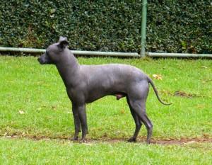 pre hispanic dog